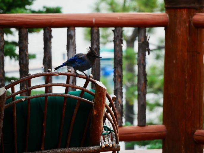 Blue jay 1